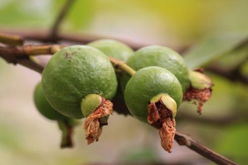 guava-144145_1920