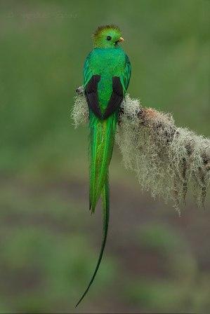 512px-Resplendent_Quetzal_in_Costa_Rica